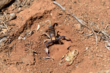 A karoo scorpion after moulting, South Africa
