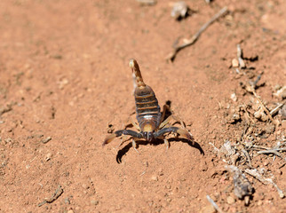 A karoo scorpion in defensive stance, South Africa