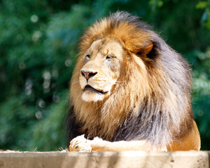 Male lion, king of the jungle, resting
