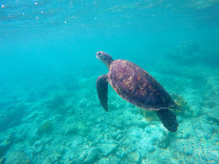 Underwater photo of green sea turtle for banner template