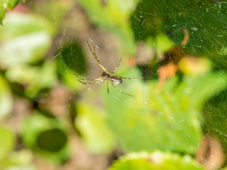 Spider on a  web, waiting for the victim