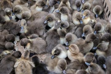Cute little duckling.