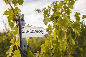 Tuscan vineyard with Sangiovese sign