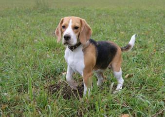 Собака породы бигль копает яму на зеленом поле и смотрит вдаль