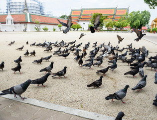 pigeons in temple