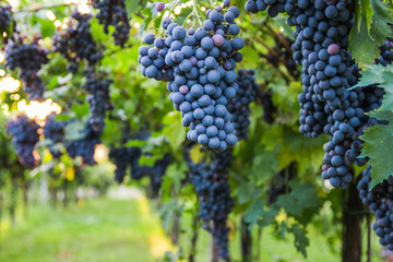 Red grapes in a Italian vineyard - Bardolino. Selective focus.