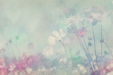 Fototapete - Soft blurred of cosmos flower in the pastel color style