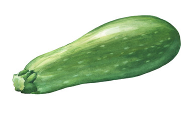 Zucchini. Hand drawn watercolor painting on white background.