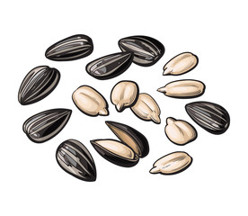 Whole and peeled sunflower seeds, vector illustration isolated on white background. Drawing of sunflowers seeds on white background, delicious healthy vegan snack