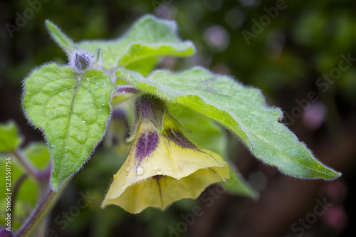 flower of physalis physalis peruviana also called cape. Black Bedroom Furniture Sets. Home Design Ideas