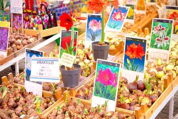 Amaryllis bulbs to Bloemenmarkt (Amsterdam)