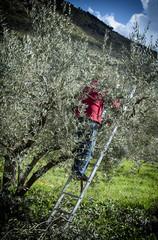 Cerca immagini da passiflora70 for Albero ulivo vettoriale