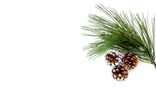 Twig of Pine Tree and three snowy, white hand painted pine cones isolated on white background.