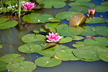 Ninfee Nello Stagno, Water Lilies In The Pond