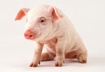 baby pig clipping path