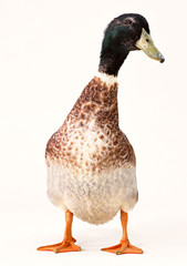 Duck with clipping path