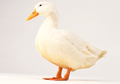 One white duck isolated on white background