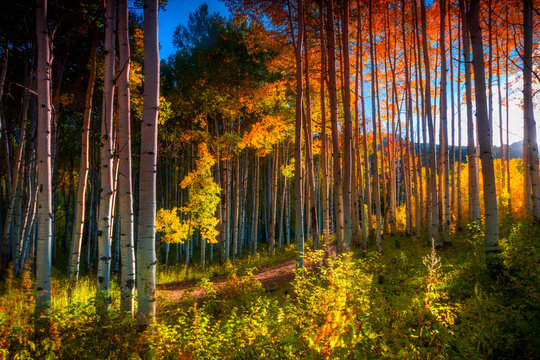 Aspens Of The West Elk Mountains