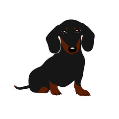 Dachshund dog. Cute puppy on a white background.