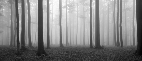 Forest of Beech Trees in Autumn, Fog and Rain, Black and White