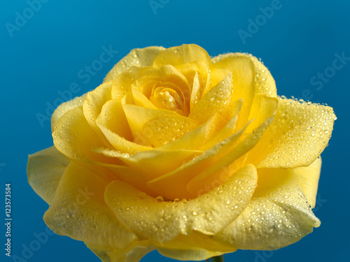 yellow roses with water drops - photo #15