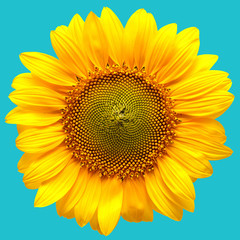 Sunflower closeup on a blue background
