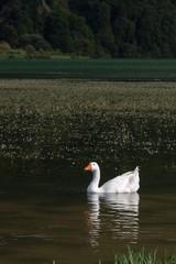 Single White Goose Swimming on Green Lake, Azores, Portugal