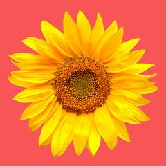 Sunflower closeup on a pink background