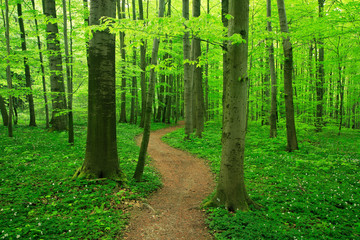 Obraz Winding Footpath through Natural Forest of Beech Trees in Spring, Fresh Green Leaves - fototapety do salonu