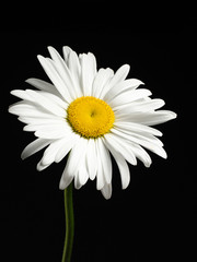 Beautiful Daisy isolated on a black background.