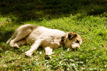 сонный пёс