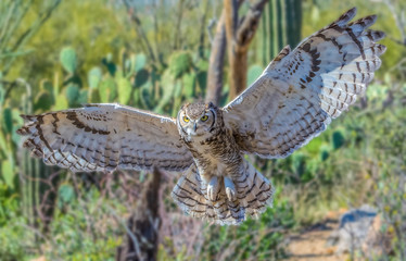 Great Horned owl with spread wings