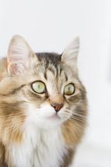 brown kitten with white siberian