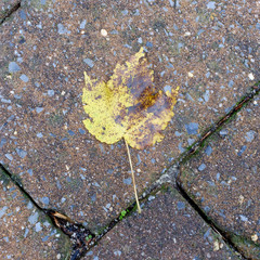 Fallen leaf on brown and moss covered paver stones in the rain