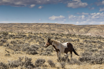 A wild horse from the McCullough Peaks Herd near Cody Wyoming.