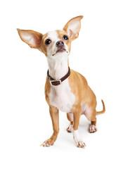 Chihuahua Dog Big Ears Looking Up