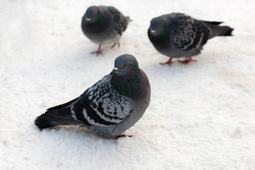 Pigeons sit on the snow
