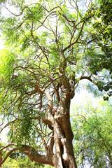 Moringa tree in Hawaii