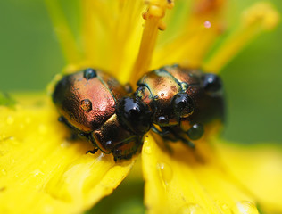 Beetles in droplets on a yellow flower