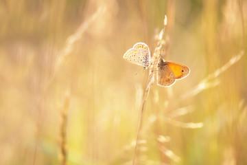Two Butterflies on blade of grass