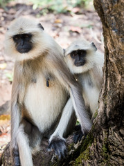 Adult and child monkeys, langur, India