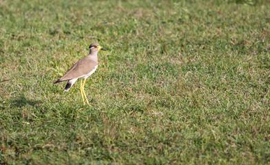 Yellow wattled lapwing bird India