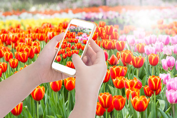 Hands holding mobile phone taking Tulip flower fields photo