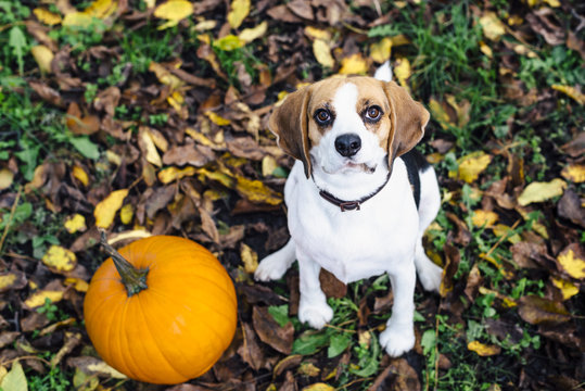 Tricolor beagle dog sitting on fallen leaves near pumpkin staring into camera