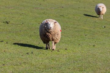 Schafe auf dem Deich bei Westerhever