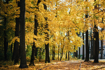 with yellow leaves and trees in autumn park