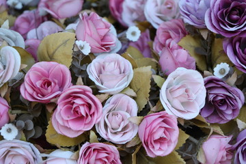 Pink and purple rose flowers.