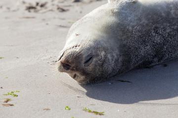Baby Seal relaxing on the sand in Skagen Denmark