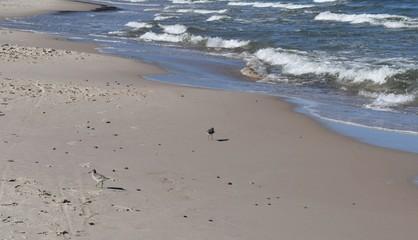 Biegus na plaży