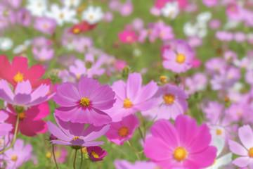 ピンク色と赤色のコスモスの花
